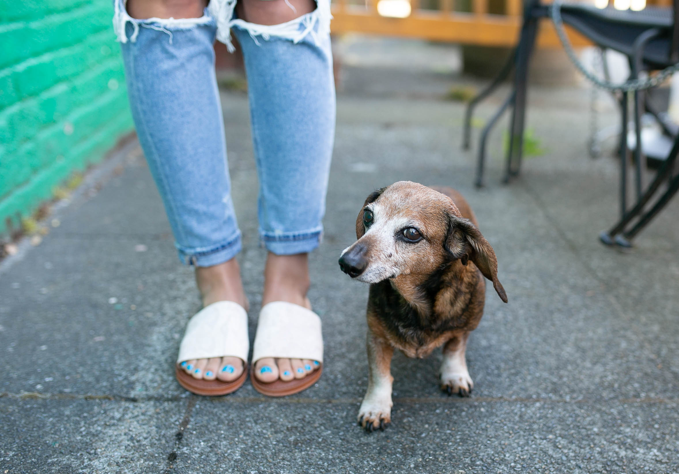 dachshund, senior dog, diary of this girl megan