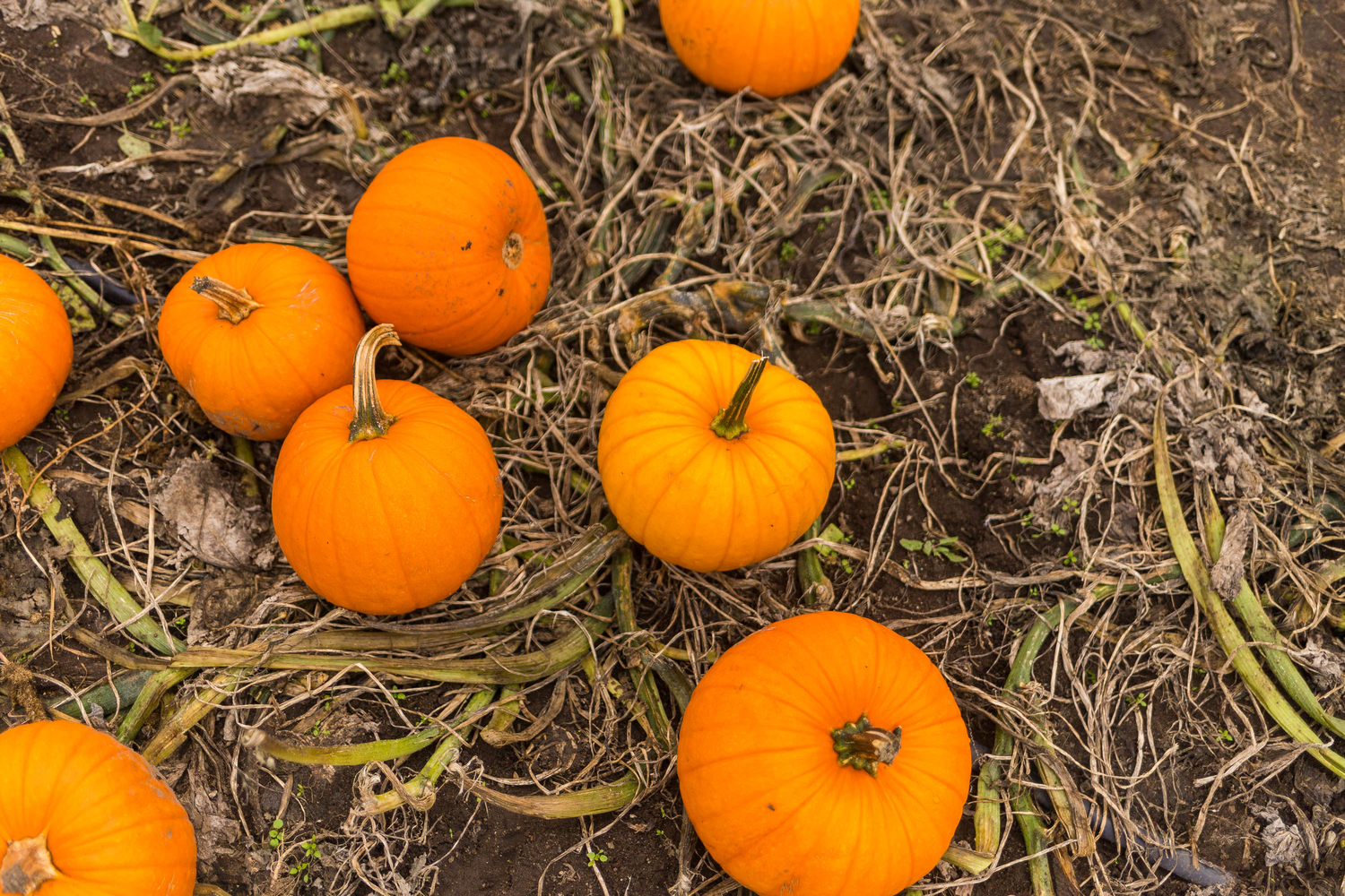 pumpkin patch, thomasson farm